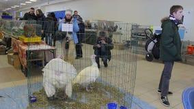 Minsk, Belarus, February 7, 2016, farm exhibition. Thoroughbred turkey, farm exhibition. Minsk stock video footage