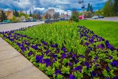 MINSK BIAŁORUŚ, MAJ, - 01, 2018: Zamyka up kolorowi kwiaty z widokiem przy środkową ulicą niezależności aleja Fotografia Royalty Free