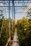 MINSK, BIELORRÚSSIA - 1º DE MAIO DE 2017: Florista feliz que trabalha em um greenho fotos de stock royalty free