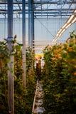 MINSK, WIT-RUSLAND - MEI 1, 2017: Gelukkige bloemist die in een greenho werken Stock Afbeelding