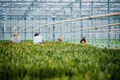 MINSK, WIT-RUSLAND - MEI 1, 2017: Gelukkige bloemist die in een greenho werken Royalty-vrije Stock Foto