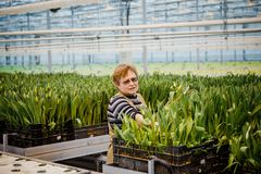 MINSK, WIT-RUSLAND - MEI 1, 2017: Gelukkige bloemist die in een greenho werken Stock Foto's