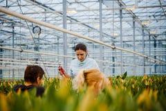 MINSK, WIT-RUSLAND - MEI 1, 2017: Gelukkige bloemist die in een greenho werken Royalty-vrije Stock Afbeeldingen