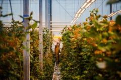 MINSK, WIT-RUSLAND - MEI 1, 2017: Gelukkige bloemist die in een greenho werken Royalty-vrije Stock Fotografie