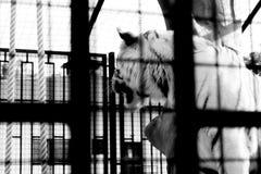 Minsk zoo Biały tygrys Jesień Zdjęcia Royalty Free