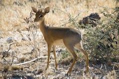 minst dik s för africa antilopdamara Royaltyfri Bild