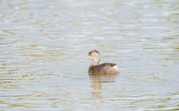 Minst simning för doppingTachybaptus dominicus i ett litet sötvattens- damm Royaltyfri Foto