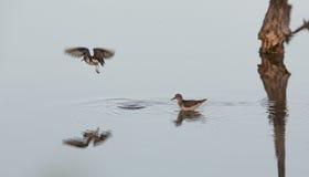 Minst snäppa på lugna vatten Arkivfoto