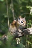 Minste Aardeekhoorn, minimus Tamias Stock Afbeeldingen