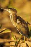 Minste Moederloog (exilis Ixobrychus) Royalty-vrije Stock Foto's