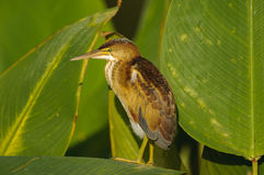 Minste Moederloog (exilis Ixobrychus) Stock Afbeelding