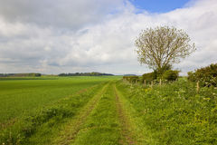 Minster way with ash tree. Scenic section of the minster way in the yorkshire wolds with an ash tree and wheat fields under a blue cloudy sky in springtime stock photo