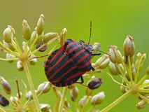 Minstrel bug Stock Photography
