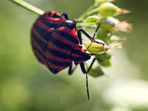 Minstrel bug (Graphosoma lineatum) on a flower. Royalty Free Stock Photo