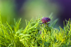Minstrel Bug or Graphosoma lineatum Stock Images