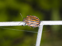 Minstrel bug Graphosoma lineatum on tube fence, macro, selective focus, shallow DOF Royalty Free Stock Photography