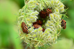 Minstrel bugs on wild carrot Stock Photo