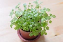 Mint листья Стоковая Фотография RF