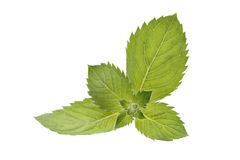Mint. The mint on white background Stock Photography