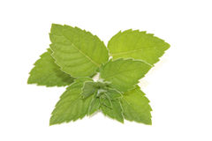 Mint. Fresh green mint isolated on white Stock Photography