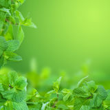 Mint. Beautiful Fresh Mint Background with copy space.Selective focus royalty free stock image