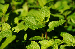Mint. Close up of the herb mint Stock Image