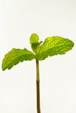 Mint. A Mint shot in studio Stock Image