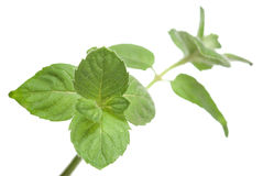 Mint. Leaves isolated on white. Low DOF stock photos
