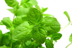 Mint. A fresh leaves of mint Stock Photography
