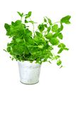 Mint. A fresh mint in a pot Stock Photo