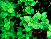 Mint. Fresh mint leaves in garden Stock Photography