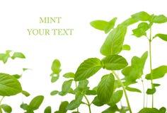 Mint Stock Images
