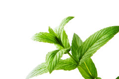 Mint. Fresh mint leaves isolated on white Stock Image