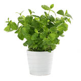 Mint. In the white pot Stock Photography