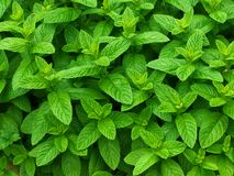 Mint. Fresh growing green mint leaves stock images