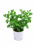 Mint. Kitchen herb mint in a pot - isolated royalty free stock photo