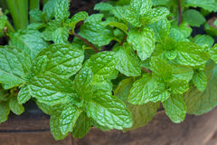 Mint. Kitchen Mint, Marsh Mint in vegetable garden Stock Photography