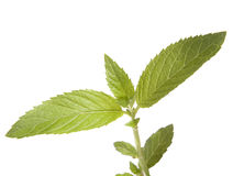 Mint. Green mint isolate on white Royalty Free Stock Photos