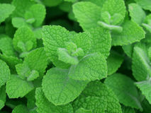 Mint abstract. Photo of mint leaf abstract background Stock Image