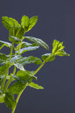 Mint against blue background. Space for text, vertical, back lit Stock Images