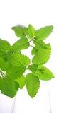 Mint as folhas Imagens de Stock Royalty Free