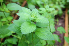 Mint as folhas Foto de Stock