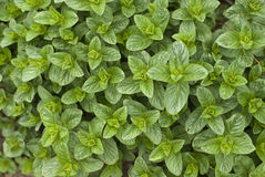 Mint background Royalty Free Stock Photography