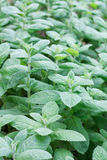 Mint on bed Stock Photo