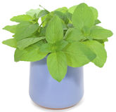 Mint. A bouquet of green mint leaves in a ceramic mug isolated on a white background Royalty Free Stock Photo