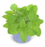 Mint. A bouquet of green mint leaves in a ceramic mug isolated on a white background Stock Images