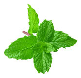 Mint branch Royalty Free Stock Photo