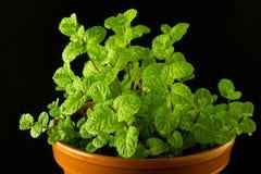 Mint bush in a flowerpot Stock Photography