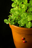 Mint bush in a flowerpot Stock Photos