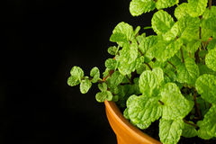 Mint bush in a flowerpot Royalty Free Stock Photo